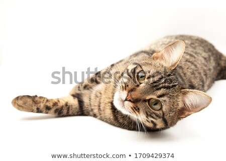 european short hair cat Stock photo © eriklam