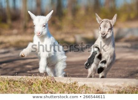 jóvenes · cabra · granja · cute · pie · hierba · verde - foto stock © rhamm