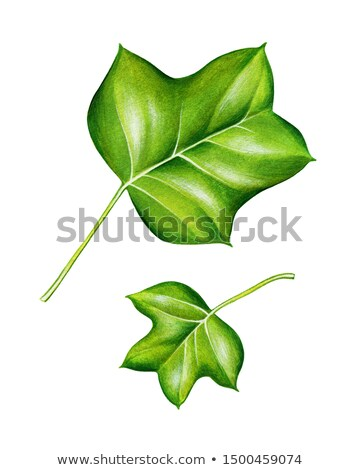 Two green leaf Stock photo © boroda