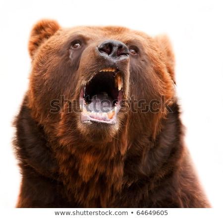 Barnamedve nyitott szájjal közelkép napsütés fej állat Stock fotó © KMWPhotography