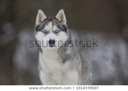 Siberian husky dog portrait Stock photo © Elenarts