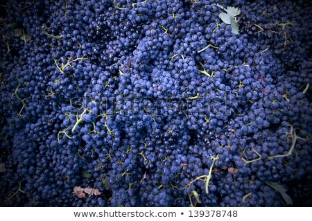 Stock photo: Harvesting crush able grapes