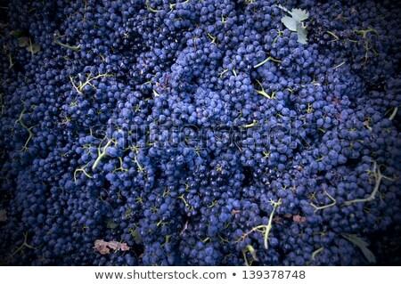 harvesting crush able grapes stock photo © abbphoto