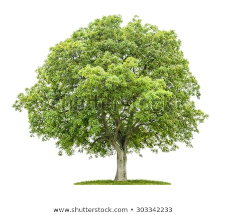 isolated walnut tree on a white background Stock photo © Zerbor