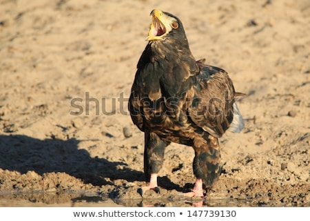 Bateleur Eagle, Young - Wild Raptors from Africa calling Mother Nature Stock photo © Livingwild