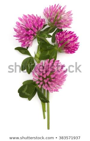piros · lóhere · virág · közelkép · virágzó · absztrakt - stock fotó © koufax73
