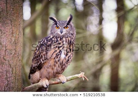 Oehoe gezicht oranje vogel veer Stockfoto © dirkr