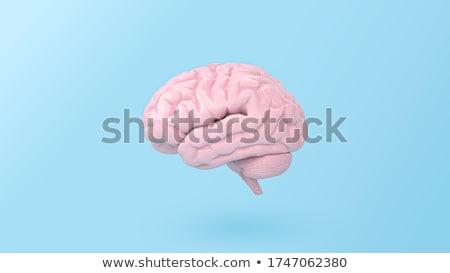 cérebro · ilustração · modelo · raio · x · veja · isolado - foto stock © tiero