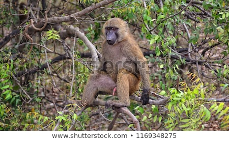 male olive baboon in the jungle stock photo © wildnerdpix