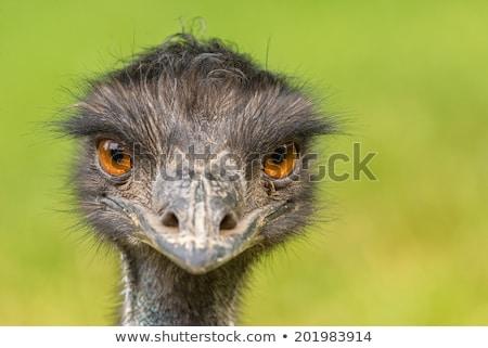 emu portrait stock photo © maros_b