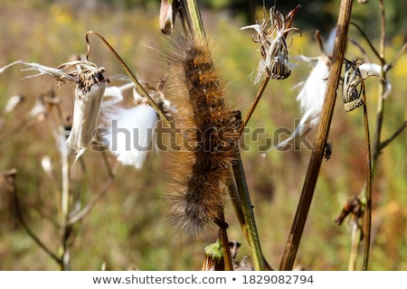 Spiny yellow caterpillar Stock photo © smithore