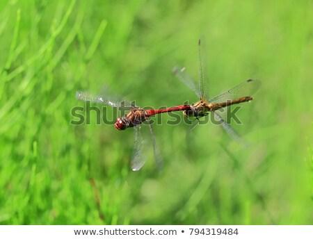 dragonfly couple portrait stock photo © thomaseder