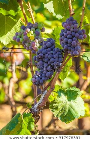 вино греческий растущий долины Закинф Сток-фото © Mps197