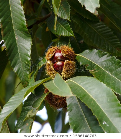 sweet chestnuts collection stock photo © olandsfokus