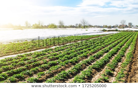 field planted with potatoes Stock photo © tarczas
