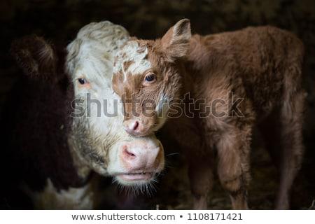Aranyos kicsi baba tehén farm állatok Stock fotó © rikke