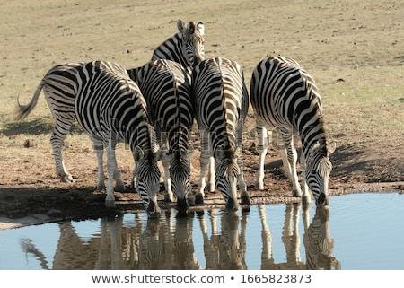 Zebras Drinking Water stock photo © JFJacobsz