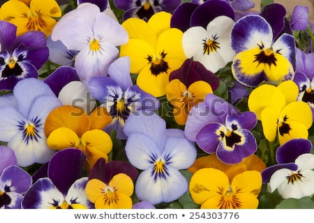 pansies flower Stock photo © caimacanul