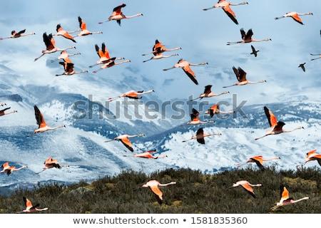 chilean flamingos stock photo © jeffmcgraw