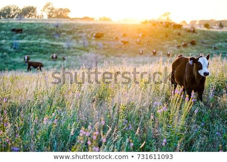 rebanho · vacas · primavera · prado · alimentação · grama - foto stock © ivonnewierink