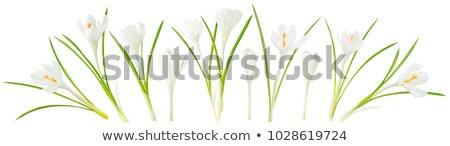 Uno azafrán primavera flor hierba Foto stock © Kotenko