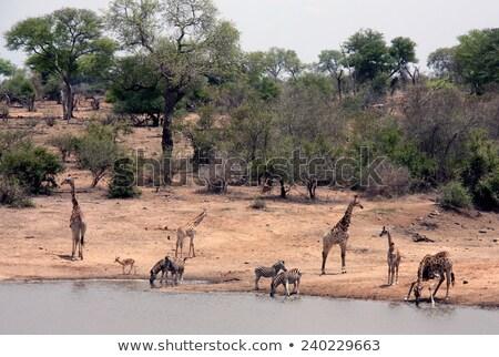 Drinking Zebras in the Kruger National Park Stock photo © simoneeman