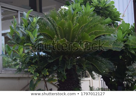 Cycas revolute Stock photo © bluering