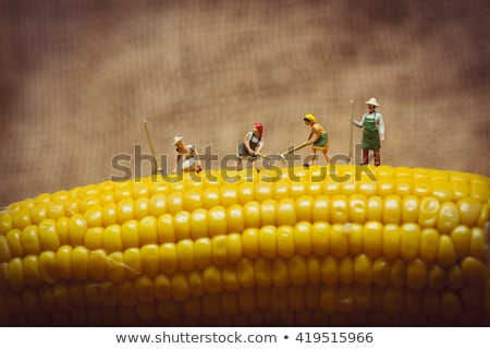 closeup of farmers with corn cob macro photo stock photo © kirill_m