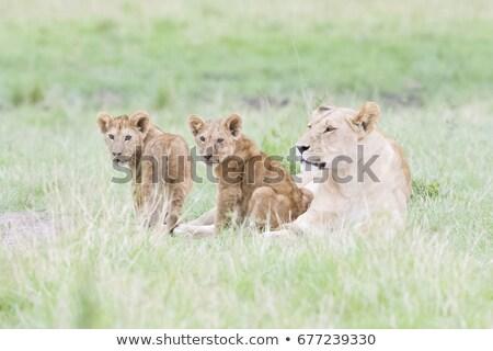 Kettő oroszlán fektet fű park Dél-Afrika Stock fotó © simoneeman