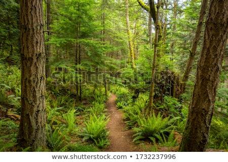 Yürüyüş iz bereketli Rainforest orman Stok fotoğraf © Juhku