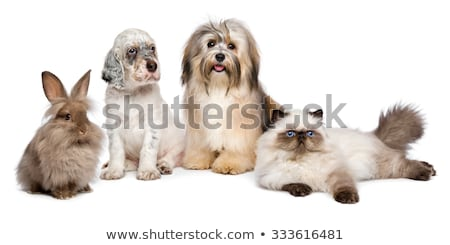 Stock photo: Dog english setter and domestic cat