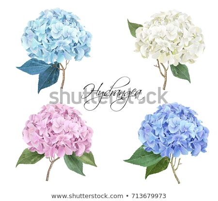 White Hydrangea flower  with leaves vector drawing Stock photo © LisaShu
