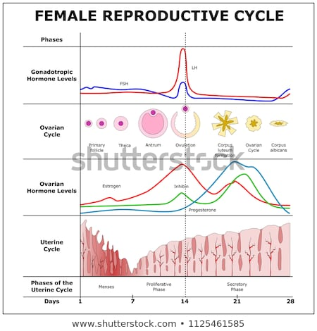 A Vector of the Menstrual Cycle Stock photo © bluering