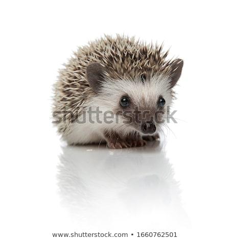 Unatkozik kicsi sündisznó rajz illusztráció néz Stock fotó © cthoman