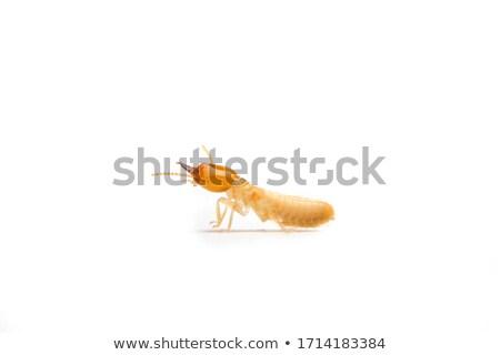 white termite white background Stock photo © bluering