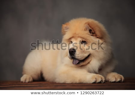 panting chow chow lying on wooden table looks to side stock photo © feedough