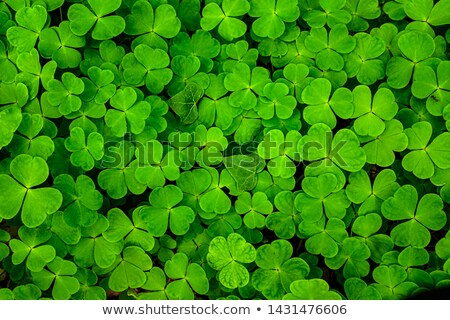 Green shamrocks clovers  Stock photo © grafvision
