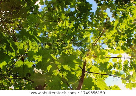 Stock photo: Fresh green maple leaf