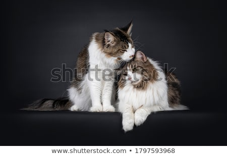 Duo of black and white Maine Coon cats on white background Stock photo © CatchyImages