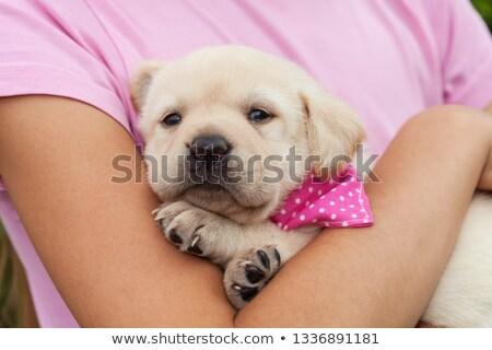 őzgida · kutya · labrador · retriever · gyönyörű · fajtiszta · közelkép - stock fotó © ilona75