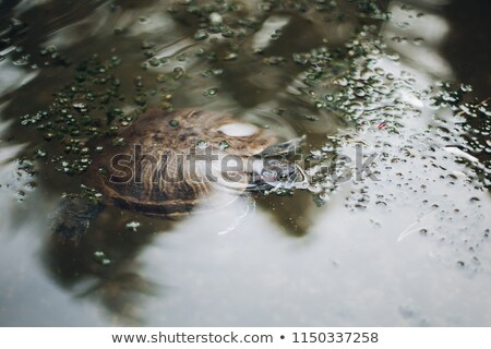 Sea turtle swims in the aquarium. View from above Stock photo © galitskaya