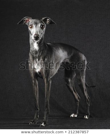 Studio shot of an adorable Greyhound Stock photo © vauvau