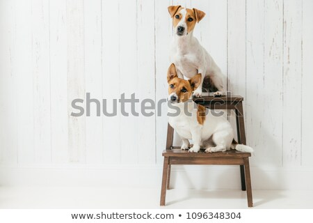 Horizontal shot of two jack russell terrier dogs sit on chair, listen to host together attentively,  Stock photo © vkstudio
