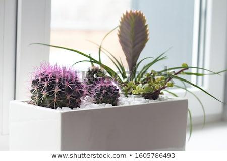 Suculento planta olla hojas perennes blanco crecido Foto stock © robuart