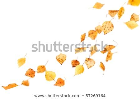 dry fallen autumn leaves on white background Stock photo © dolgachov