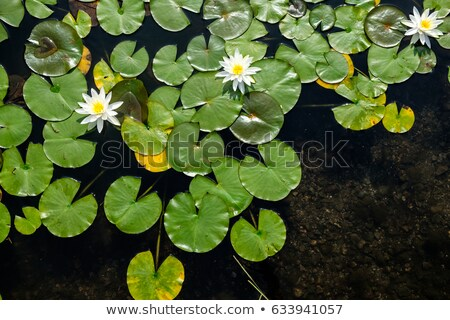 Stock photo: water lily with green leaves
