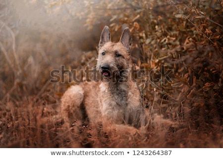 Pastore belga cane giovani animale cucciolo rosolare Foto d'archivio © eriklam