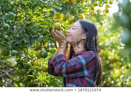 Colheita em breve vinha natureza fruto azul Foto stock © lithian