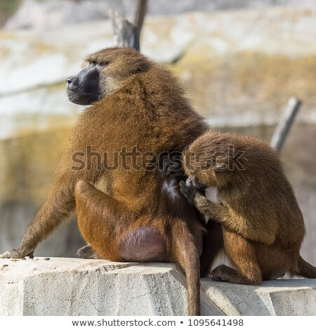 Guinea baboons delousing Stock photo © Musat