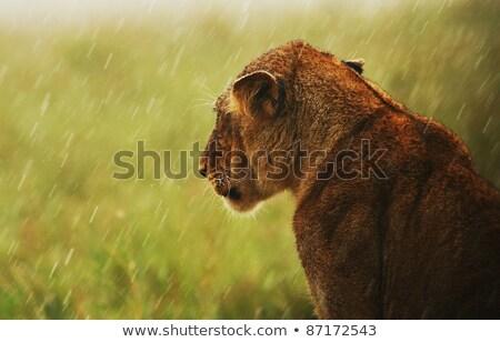 chuva · África · Quênia · grama · gato - foto stock © Anna_Om